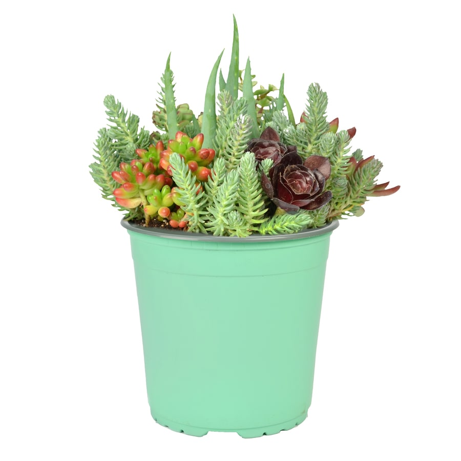 2.5-Quart Succulent Mixed (L23140)