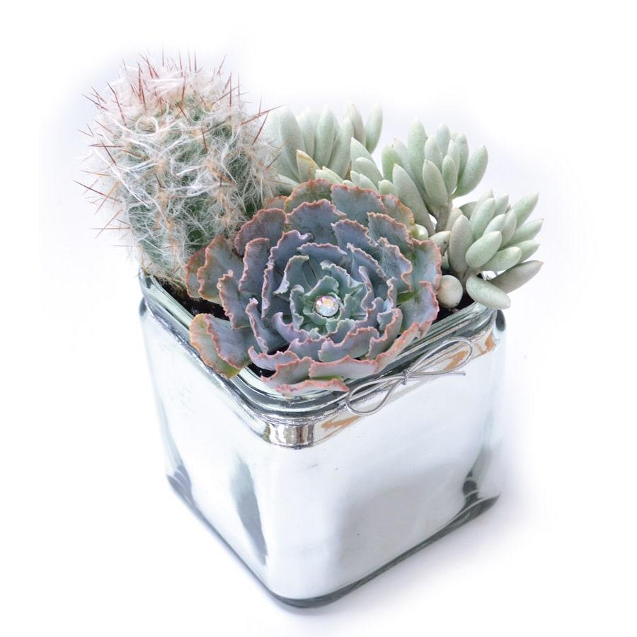 1.3-Quart Mixed Cacti (AL001)