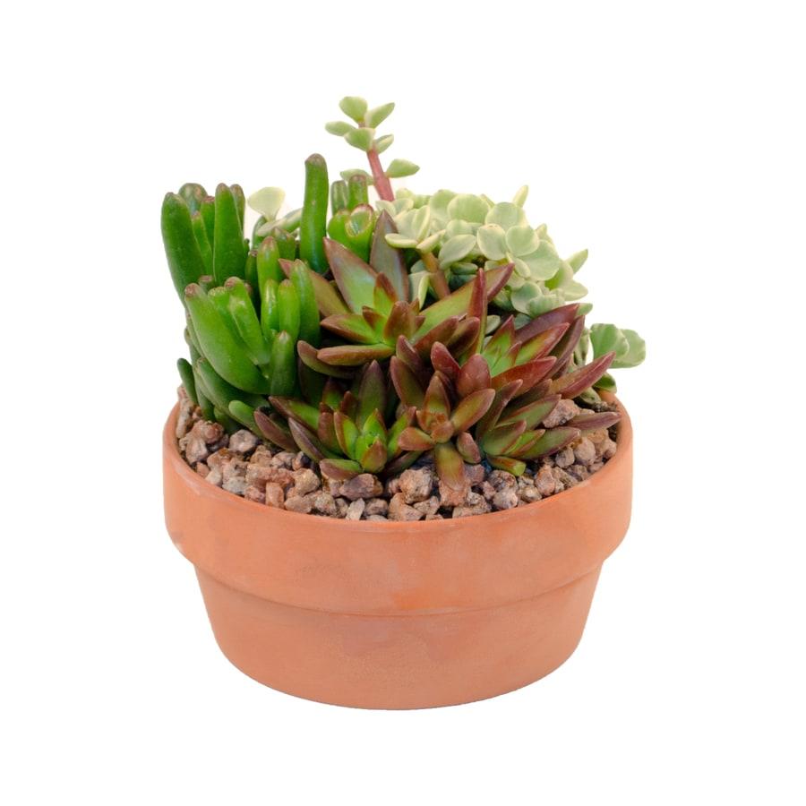 11-oz Mixed Cacti (AL001)