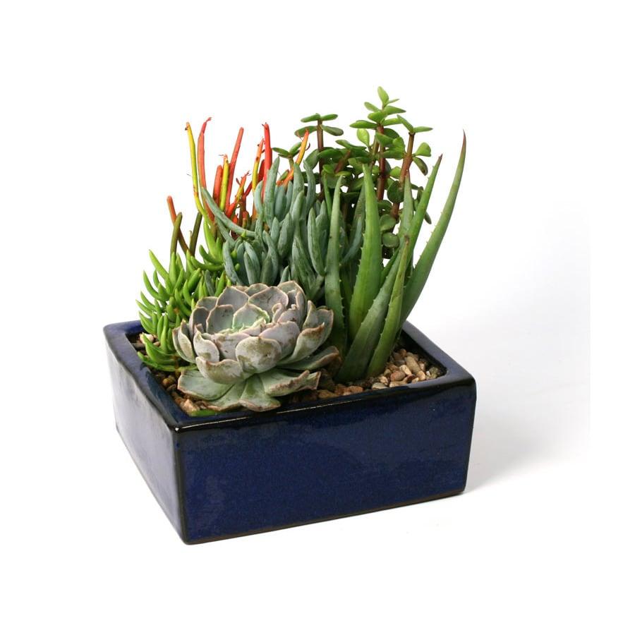 1.6-Quart Mixed Cacti (AL001)