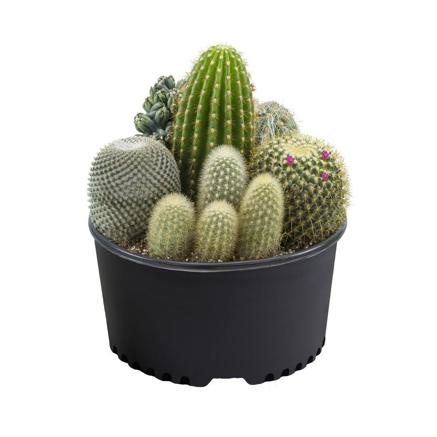 Cactus and succulents (L2923HP)