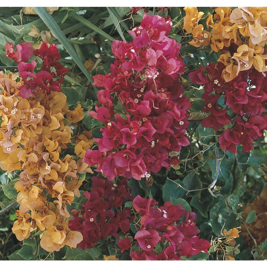 2.58-Gallon Mixed Hybrid Bougainvillea Flowering Shrub (L5710)
