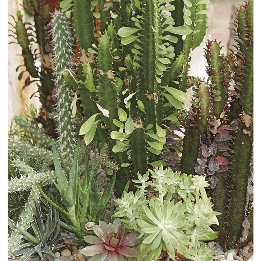 1.4-Pint Mixed Cacti and Succulents (LWALTCS)