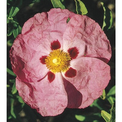 Violet Orchid Rock Rose Flowering Shrub In Pot With Soil L5170