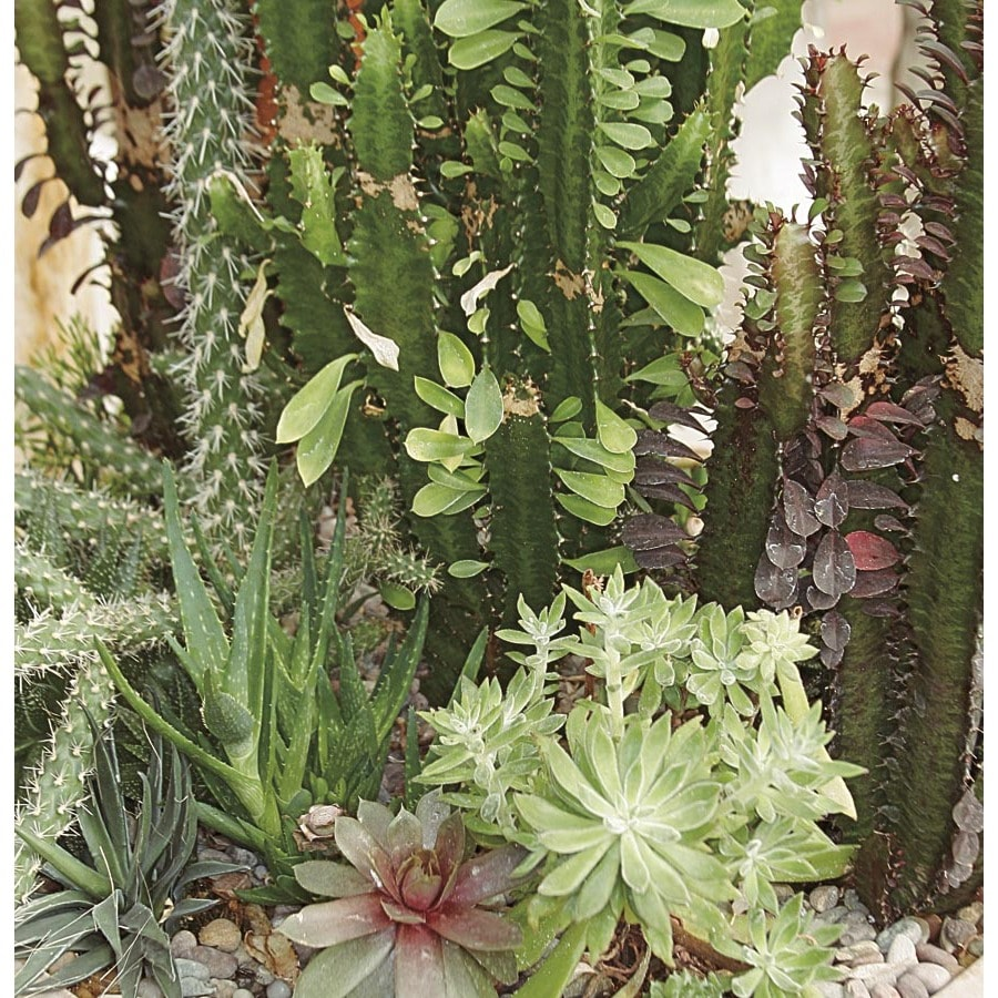 1.54-Gallon Cacti and Succulents (Mixed) (LWALTCS)