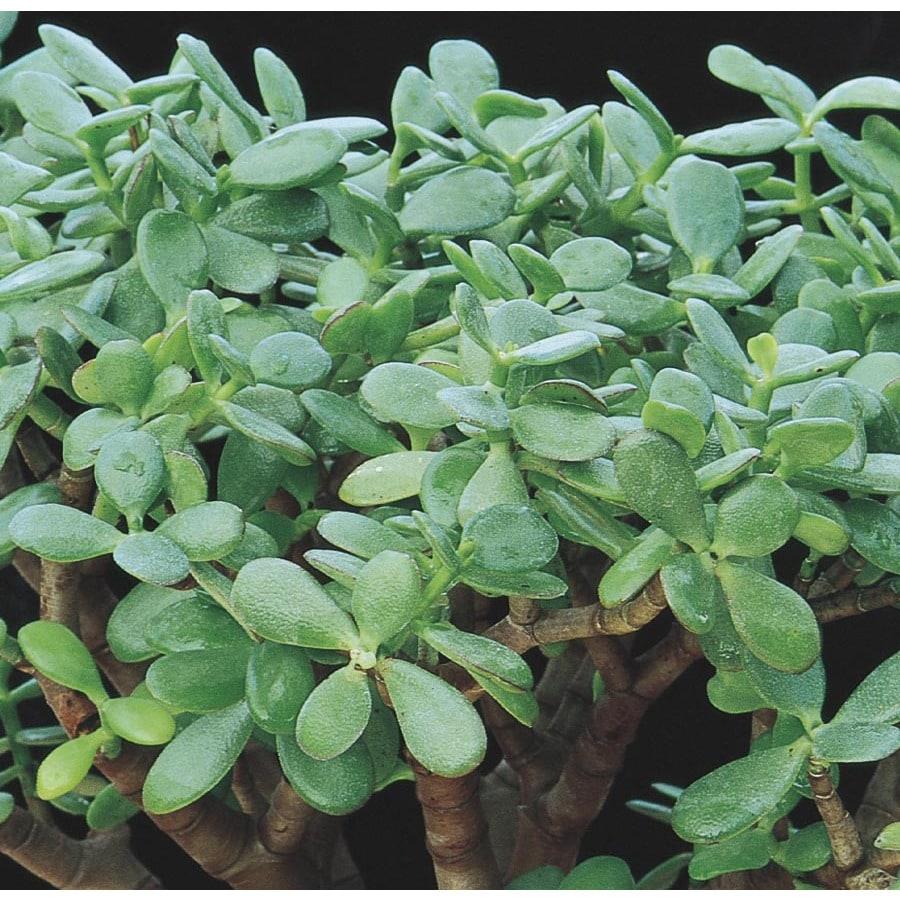 2.5-Quart Pink Jade Plant Feature Shrub (LW03223)