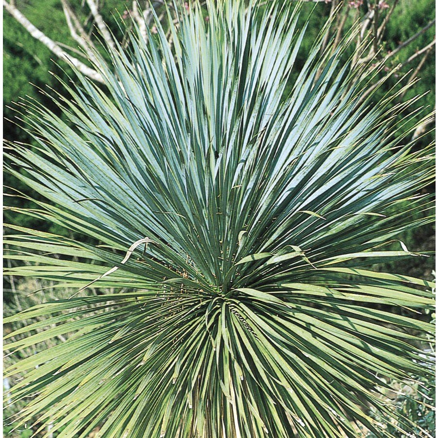 Shop 358 Gallon White Soaptree Yucca Accent Shrub L14951 At Lowes
