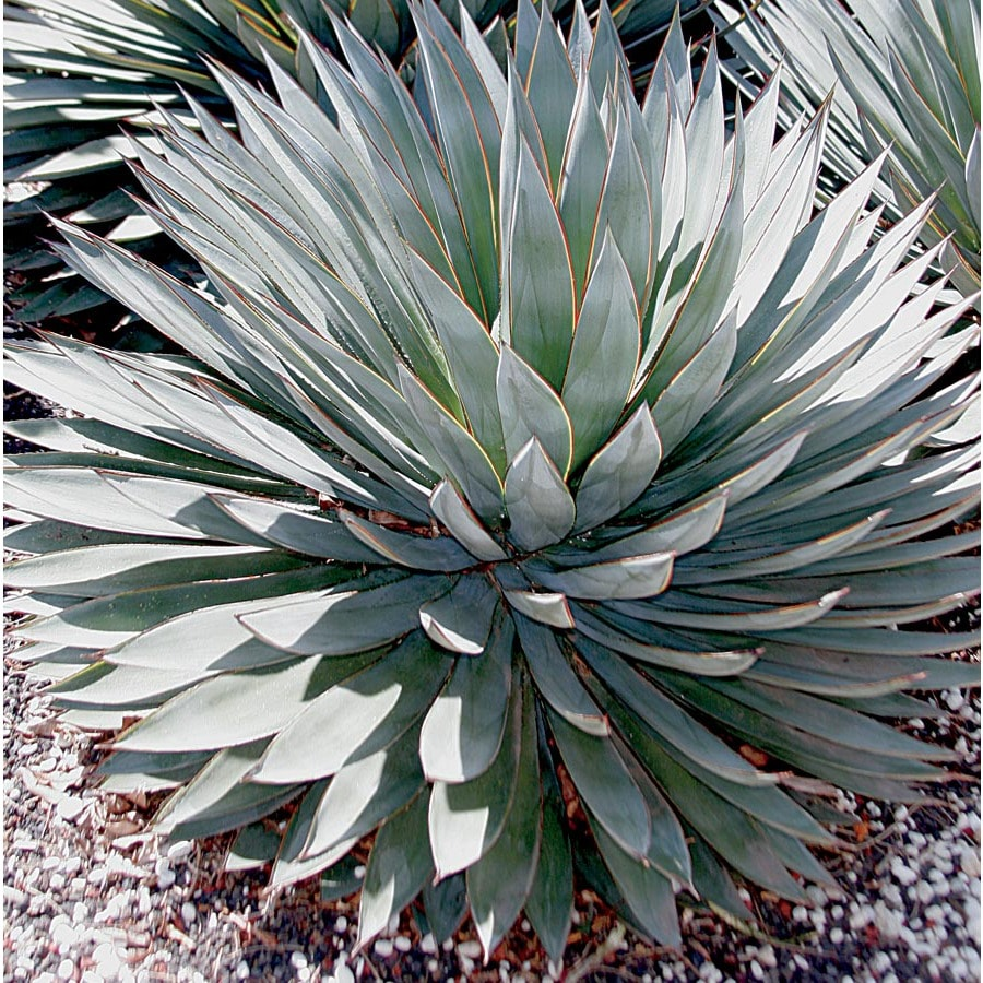 2.5-Gallon Blue Glow Agave (L23116)