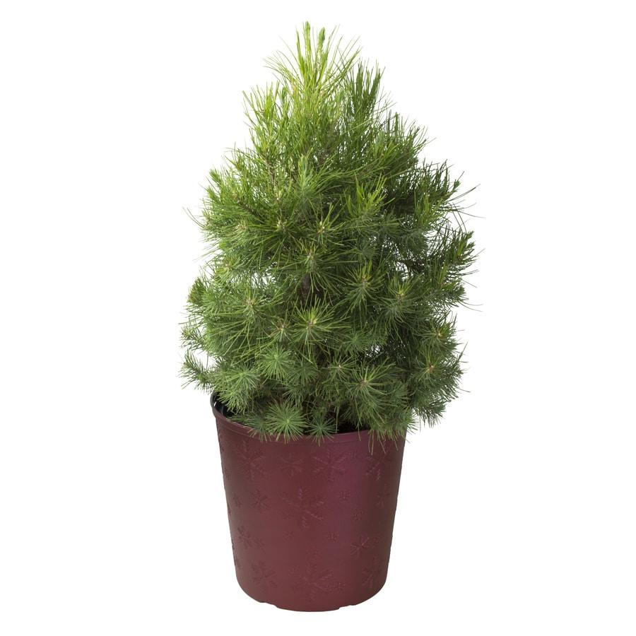 3.58-Gallon Aleppo Pine Feature Tree (L5855)