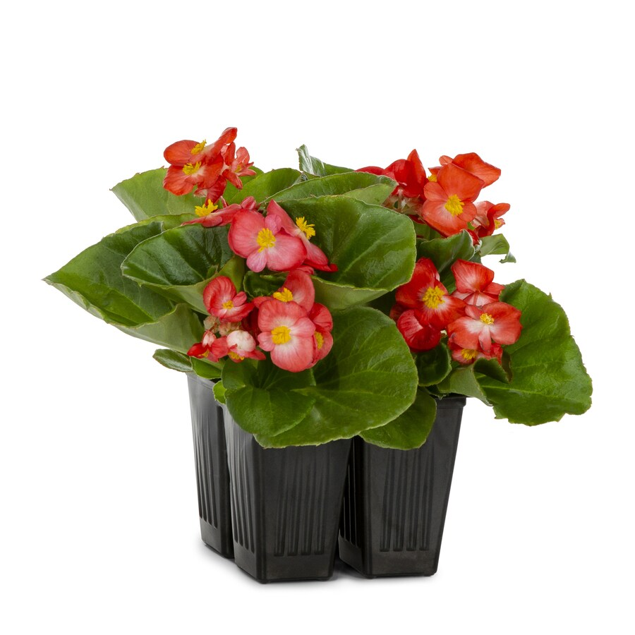 4-Pack Temporary Begonia (L6589)