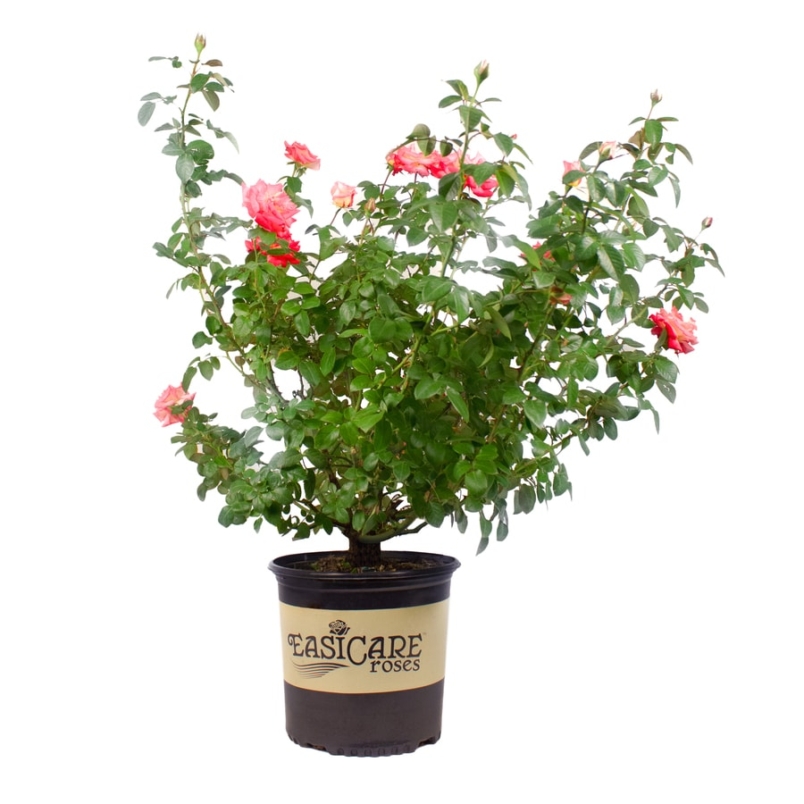 2.25-Gallon Multicolor Rose 'Easicare-ft Flowering Shrub