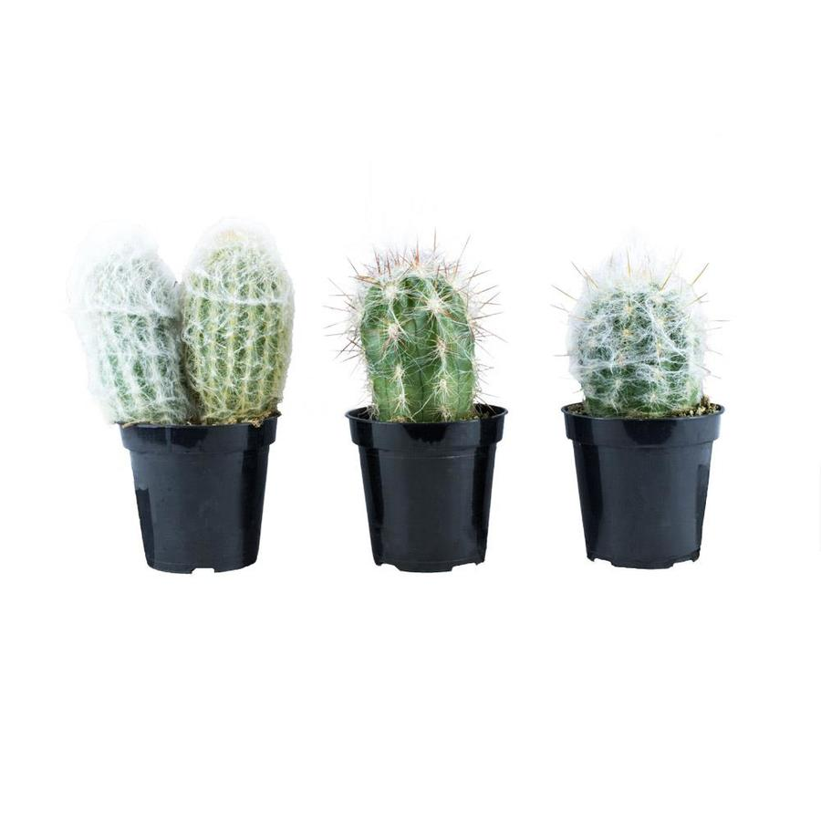 3-count 11oz Old Man Assorted Cactus