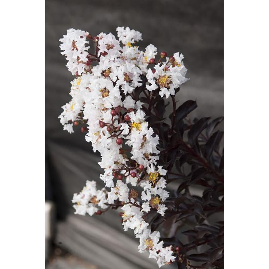 2.25-Gallon Crape Myrtle Black Diamond Flowering Tree (L6644)