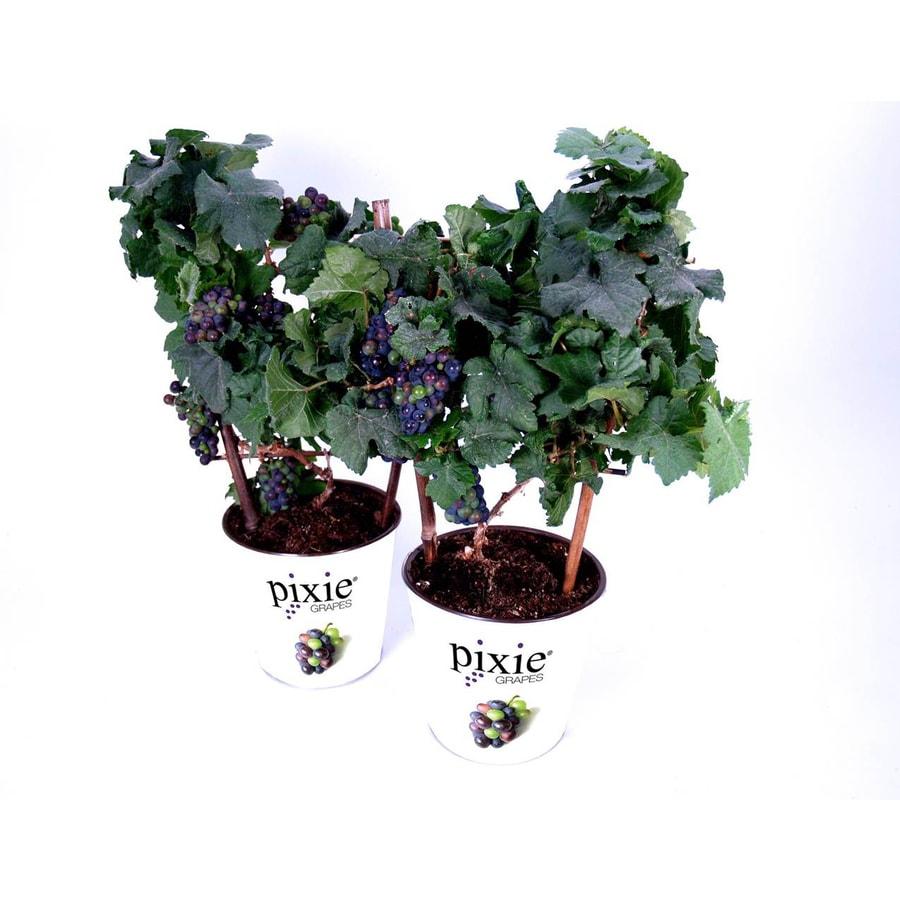2.5 -Quart Vitis vinifera (N/A)