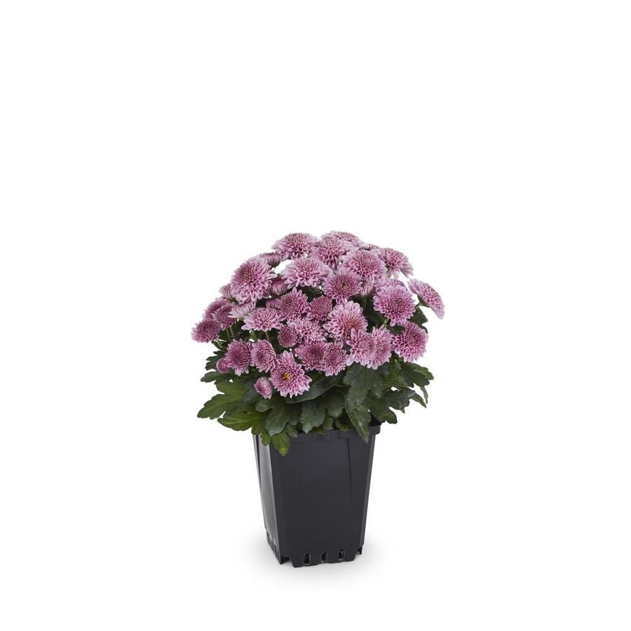 Shop 1 Pint Pink Garden Mum In Pot Lw00832 At Lowes