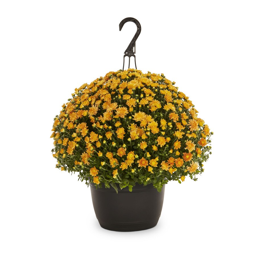 1.5-Gallon Orange Mum (L5584)