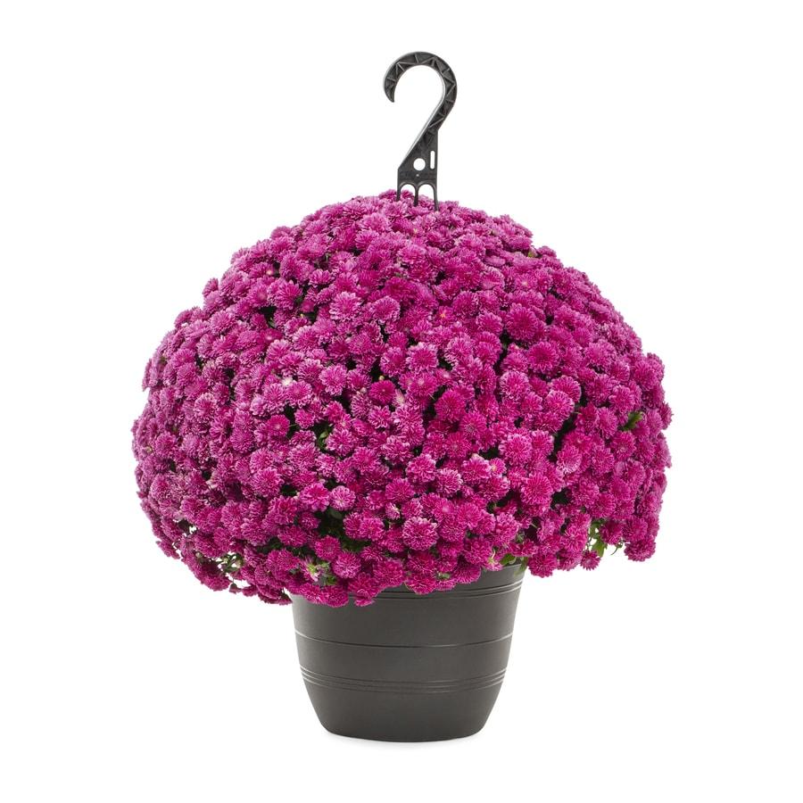 1.5-Gallon Purple Mum (L17744)