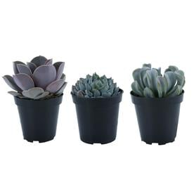 Shop Succulents at Lowes.com on attractions near me, beauty salon near me, fishing near me, swimming pool near me, gardens near me, factories near me, sauna near me, beach near me, malls near me, lounges near me,