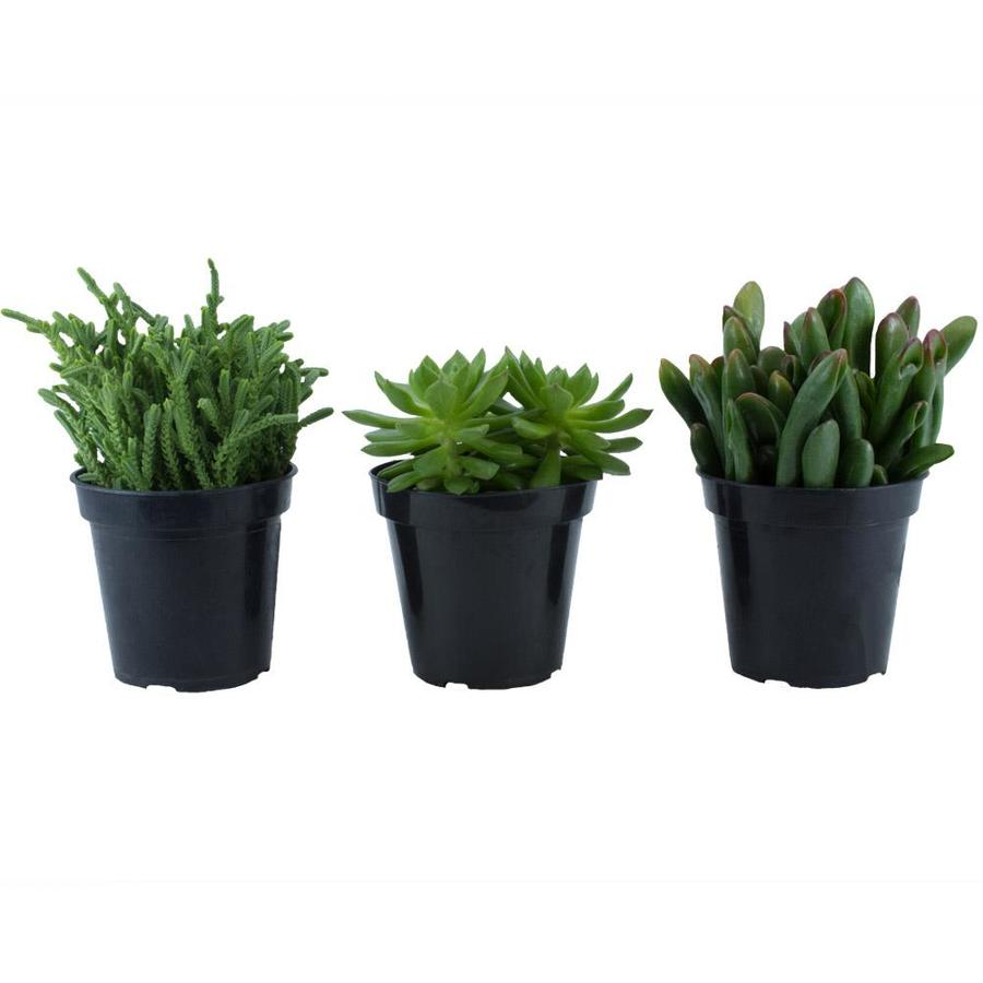 3-count 11oz Going Green Assorted Succulents