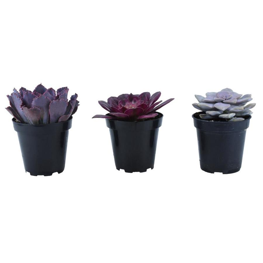 3-count 11oz Tickled Pink Assorted Succulents