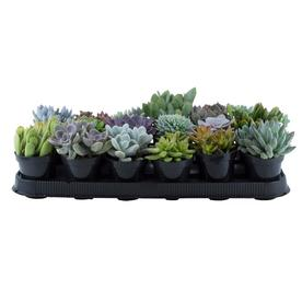 18 Count 11oz Colors Of Succulents Orted