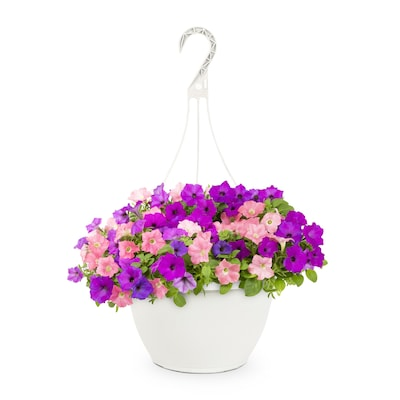2 Gallon Multicolor Wave Petunia In Hanging Basket At Lowes Com