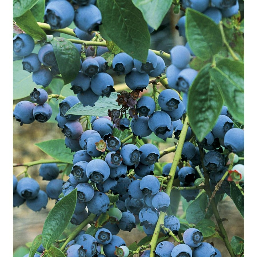 WR Vanderschoot 2-Pack Blueray Blueberry (L5243)