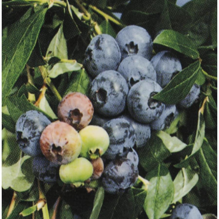 WR Vanderschoot 2 Pack Jersey Blueberry Plants (L8707)