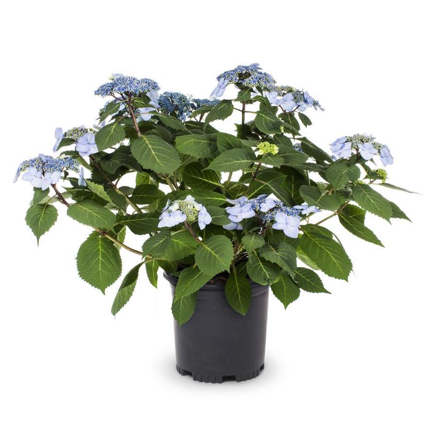 1-Gallon BloomStruck Bigleaf Hydrangea