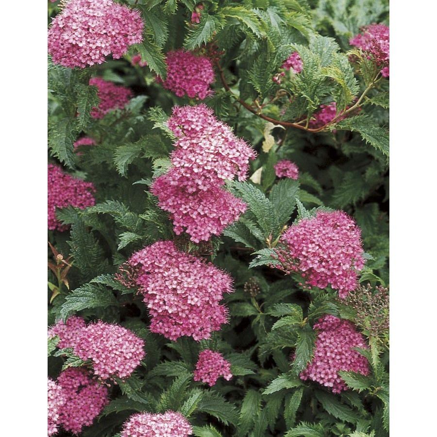 1 Gallon Pink Superstar Spirea Flowering Shrub L24840 At