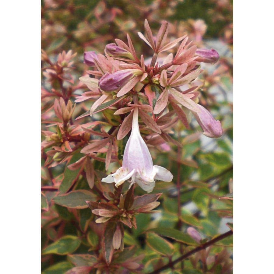 White Sunshine Daydream Abelia Flowering Shrub In Pot With Soil