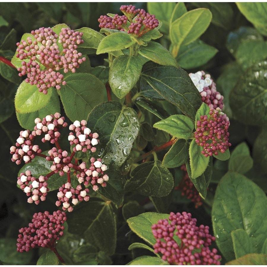 1-Gallon Pink Shades of Pink Viburnum Flowering Shrub (L24843)