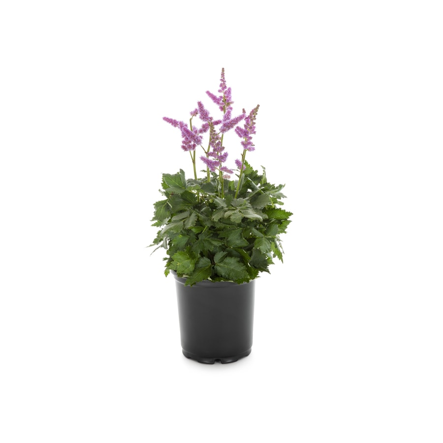1-Gallon Astilbe (Lb11788)