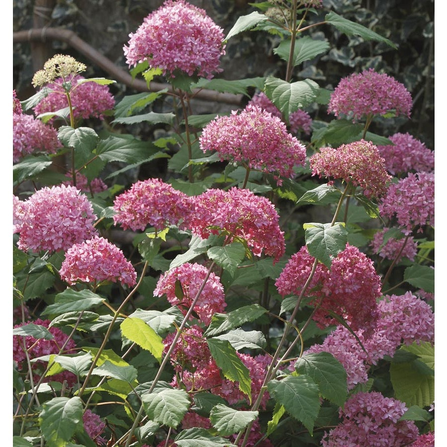 3-Gallon Pink Bella Anna Hydrangea Flowering Shrub (L24812)