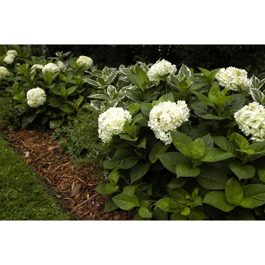3 Gallon White Hydrangea Flowering Shrub In Pot