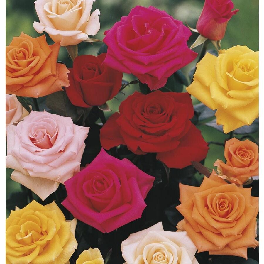 2.25-Gallon Premium Rose (L11179)