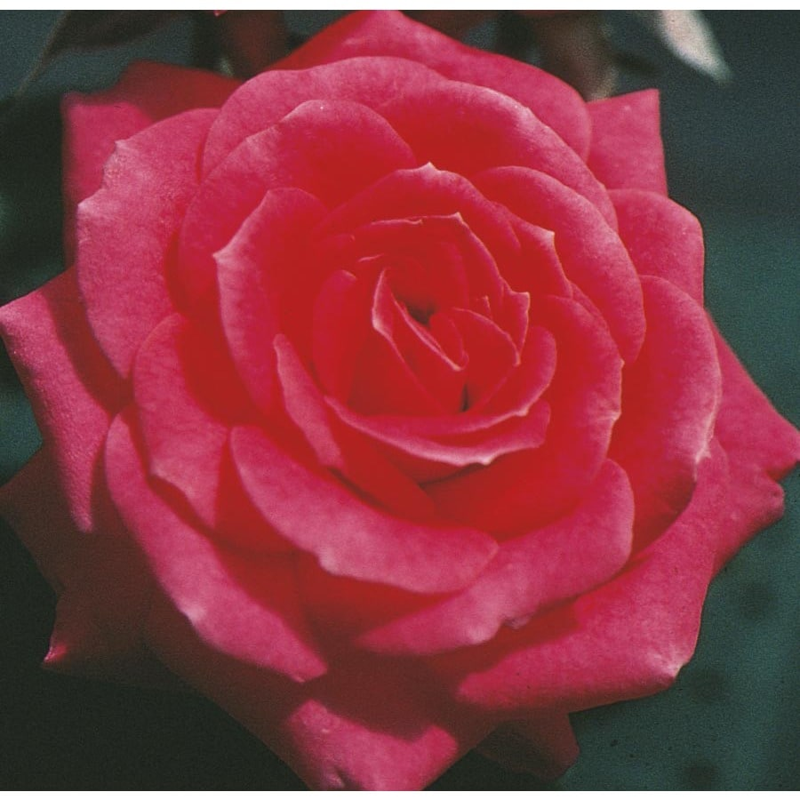 1.5-Gallon Classic Sunblaze Rose (L23839)