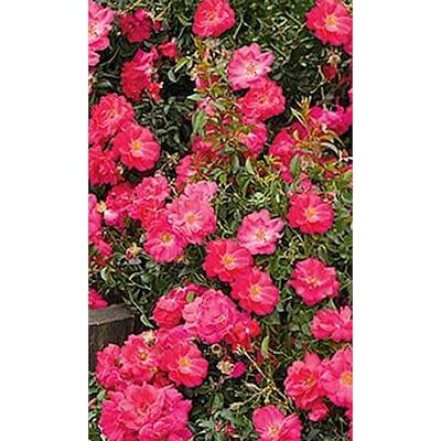 2 25 Gallon In Pot Multicolor Flower Carpet Rose L7018 At Lowes Com