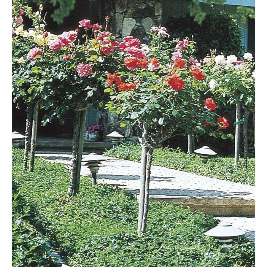 5 Gallon Tree Rose (L5352)