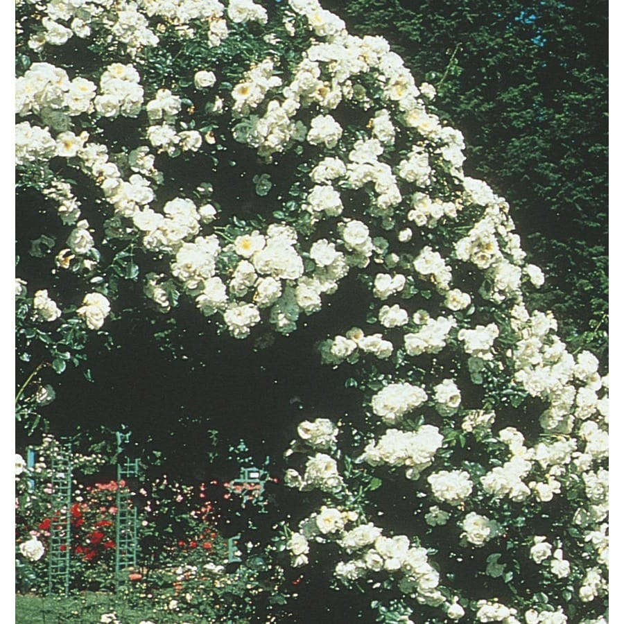 1.5-Gallon Fortuniana Rose (LW03674)
