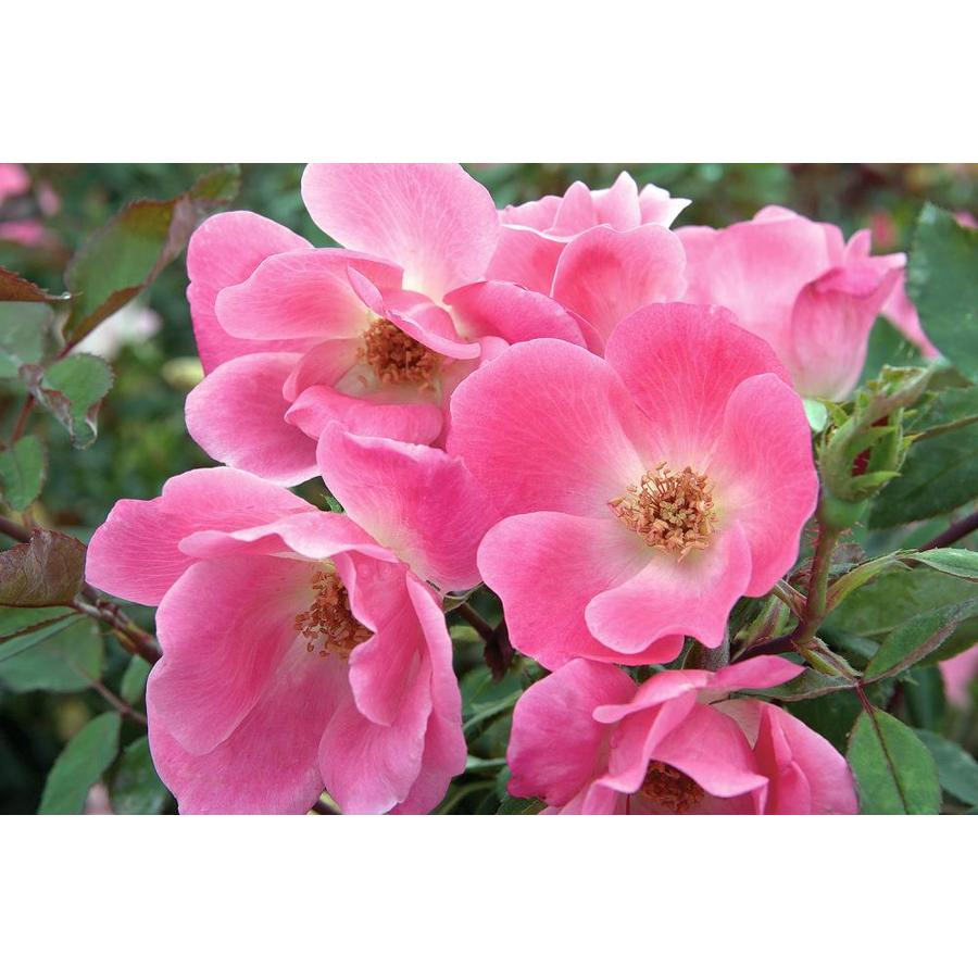 2-Gallon Pot Knock Out Rose Pink