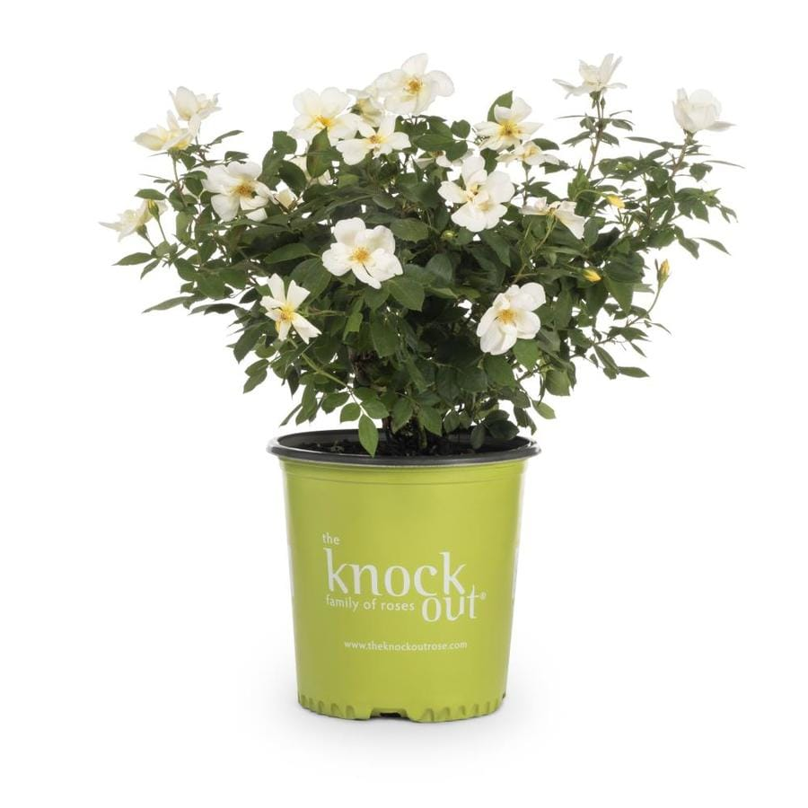 2-Gallon Sunny Knock Out Rose (L20529)
