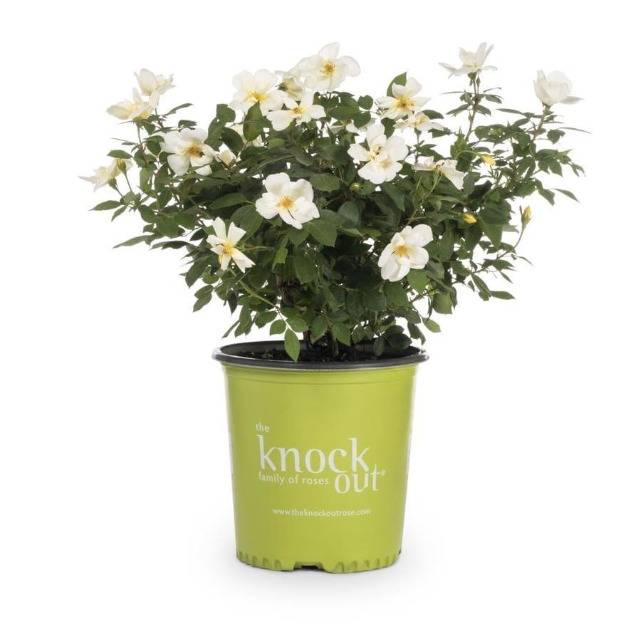 2-Gallon Pot Knock Out Rose Sunny