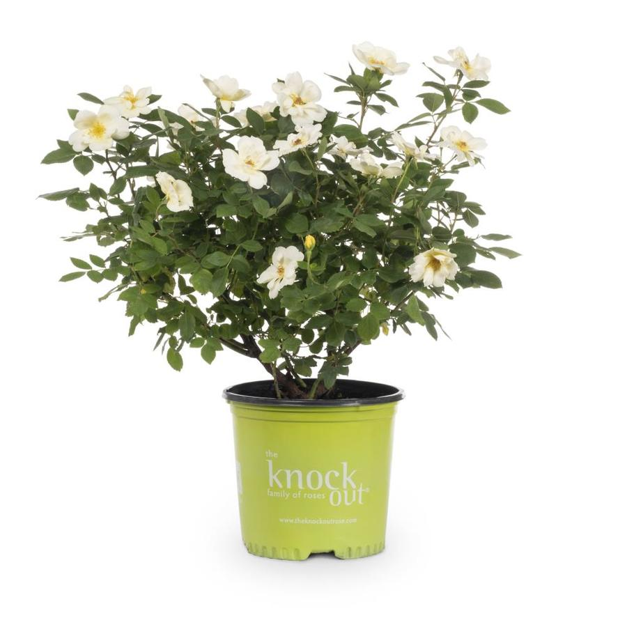 1-Gallon Pot Knock Out Rose Sunny