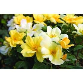 Roses At Lowescom
