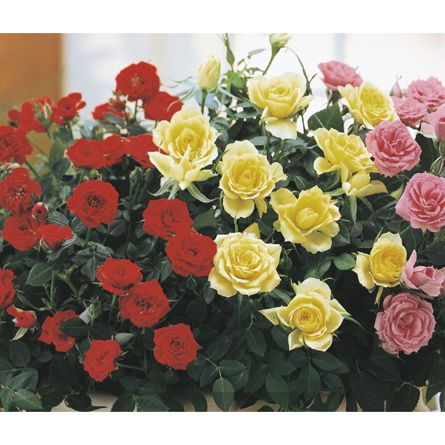 1.4-Quart Miniature Rose (LW04269HP)