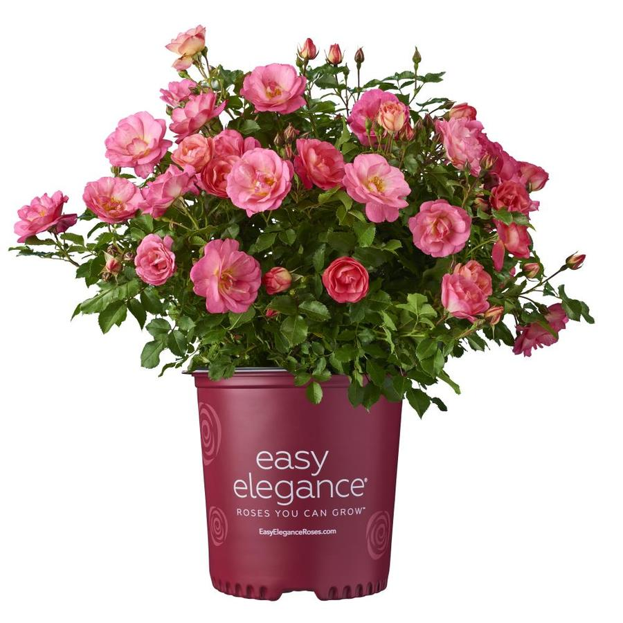 1.6-Gallon Pink Rose Accent Shrub