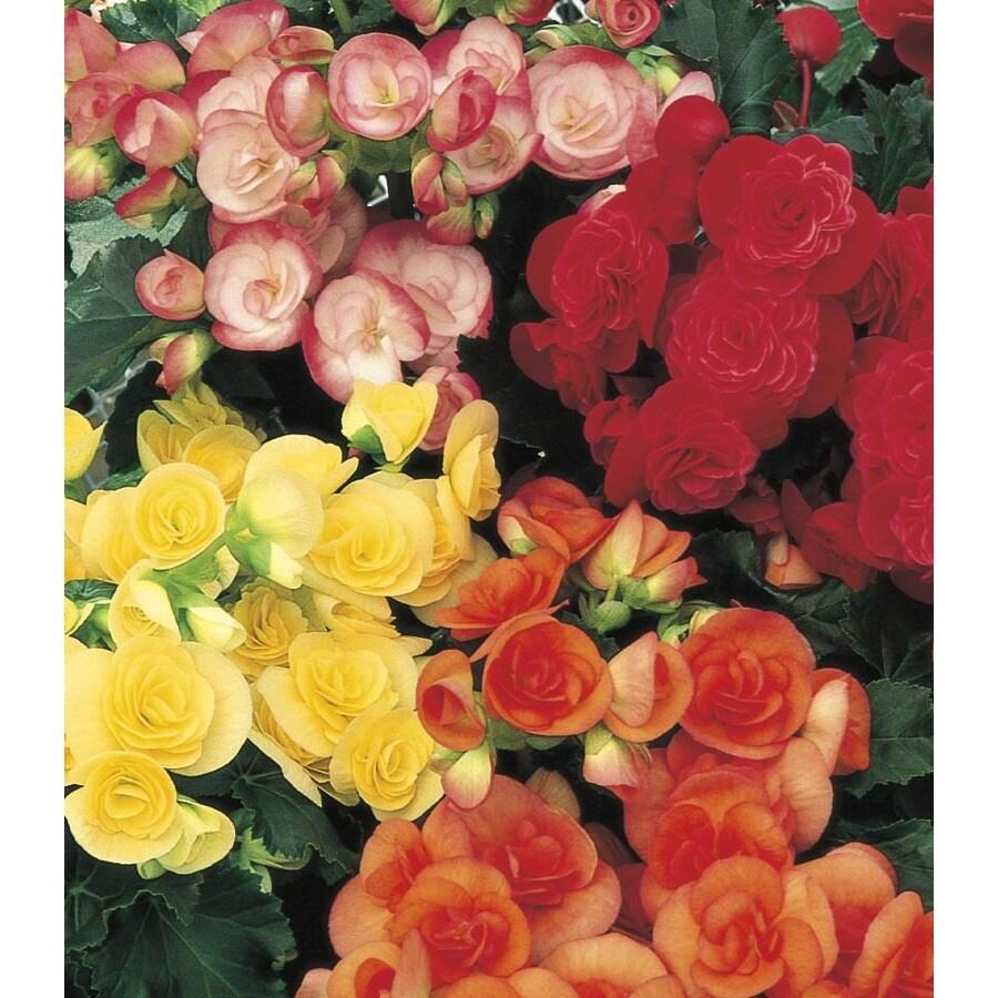 1.25-Quart Rieger Begonia (L2734hp)
