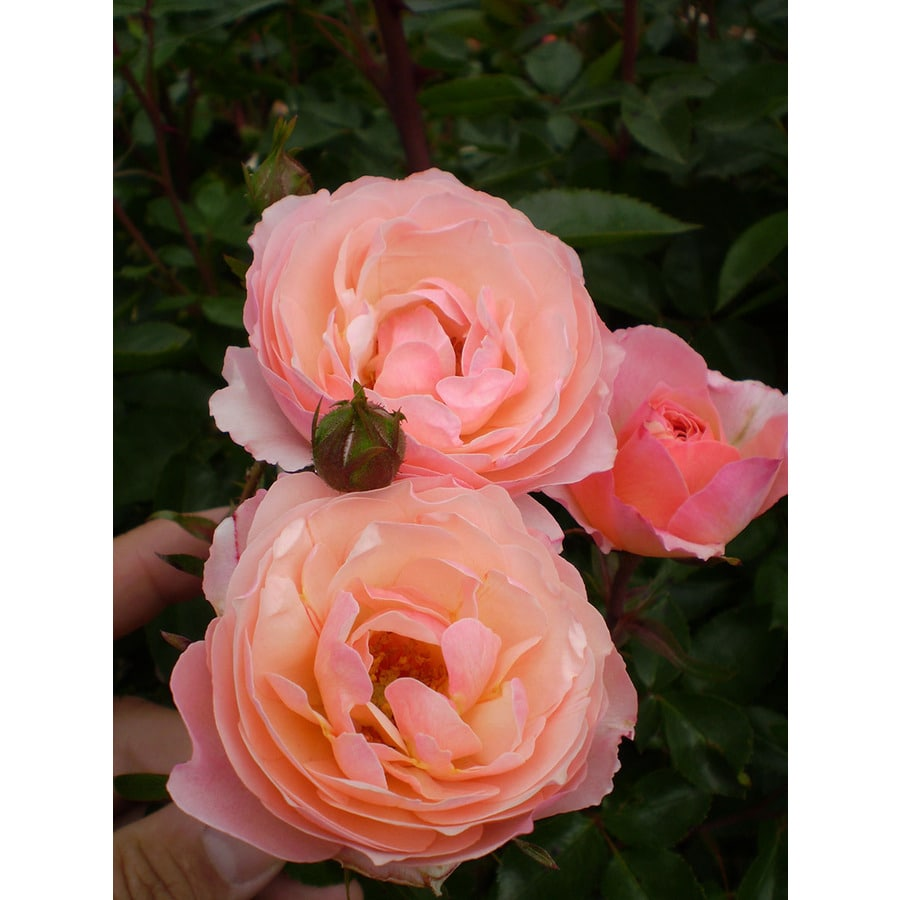 1.6-Gallon Bronze Rose Accent Shrub