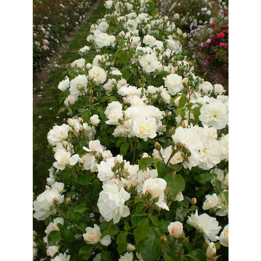 1.6-Gallon White Rose Accent Shrub